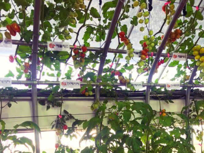トマトのツタでできたトマトカーテン