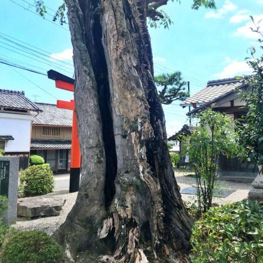 でっかく亀裂の入った大木