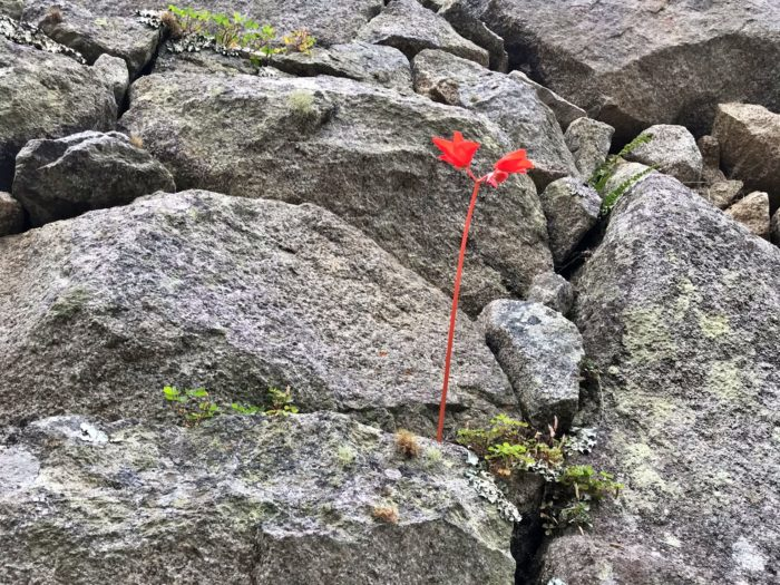 茎も葉も真っ赤な一輪の花