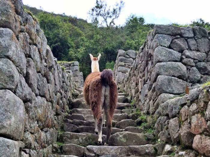 階段を上るリャマのおしり