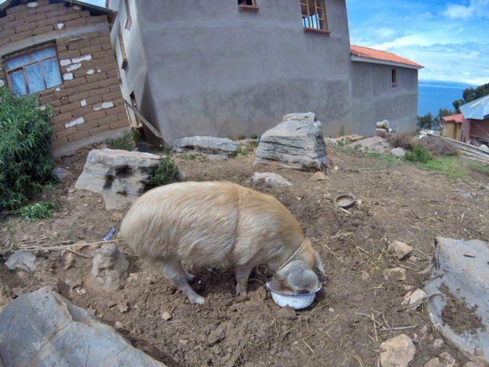 エサを食べる豚