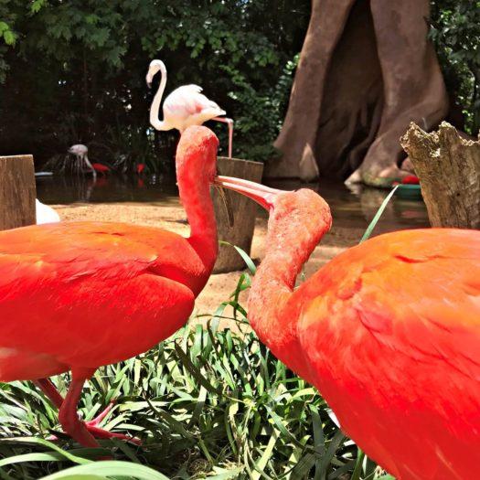 2羽の赤い鳥