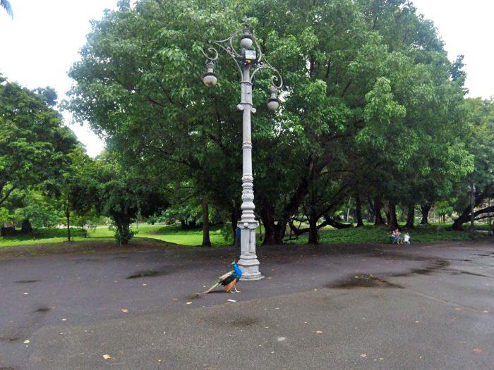 公園のクジャク