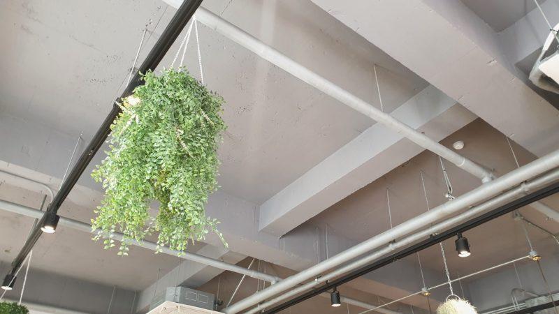 天井のハンギンググリーン