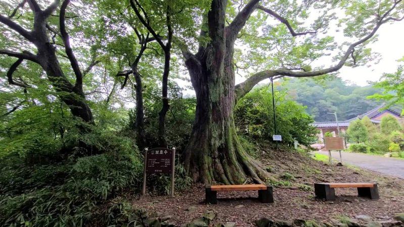 でっかい保護木