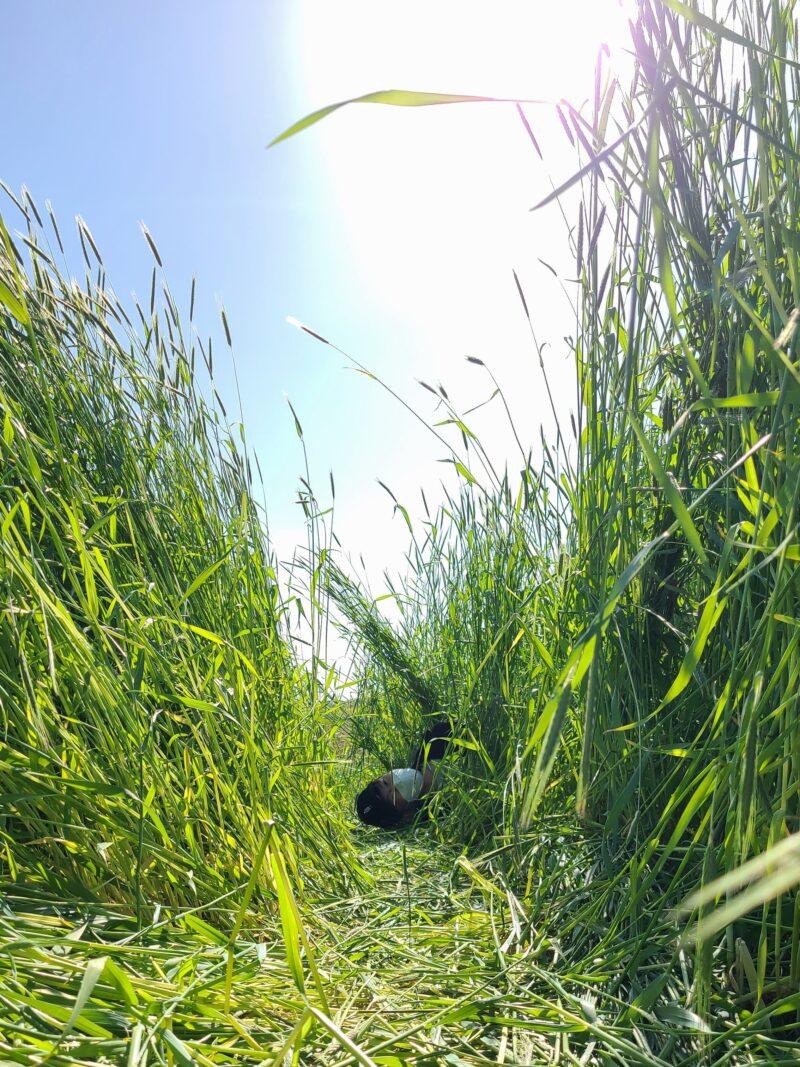 안성팜랜드 春の麦畑